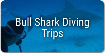 Scuba diving in Mexico - Bull Shark Excursion