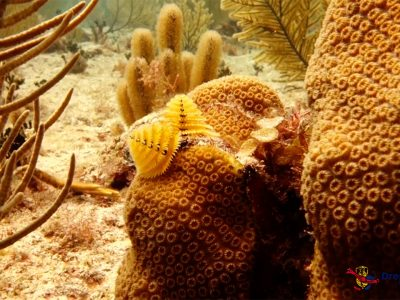 Scuba Diving Puerto Aventuras - Christmas Tree Worm