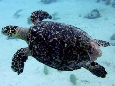 Scuba Diving Puerto Aventuras - turtle