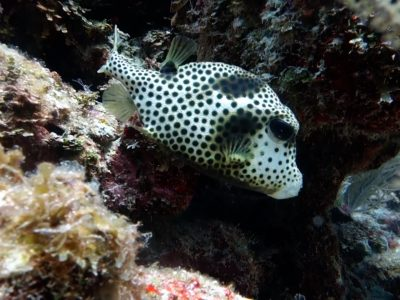 Scuba Diving Puerto Aventuras - trunkfish