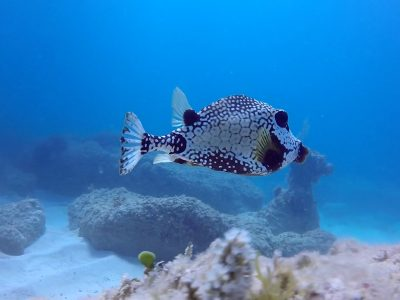 Bavaro. Smooth Trunkfish.