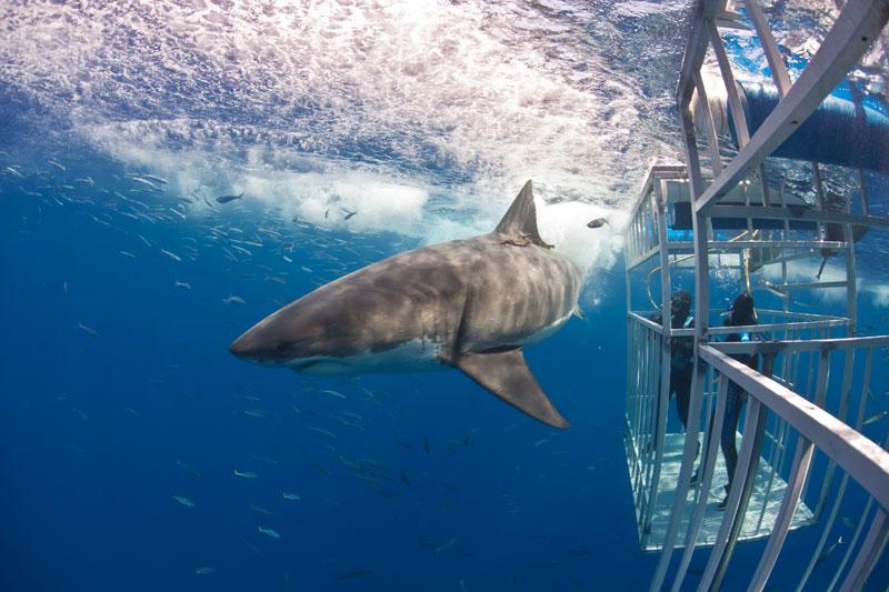 Best scuba diving in mexico - guadalupe- el mejor buceo en mexico