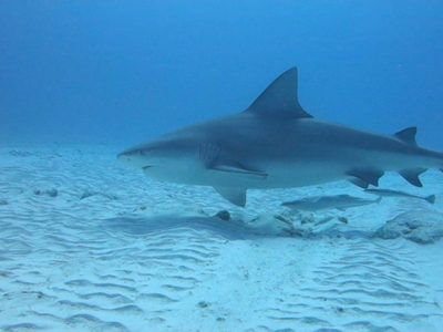 excursions requin taureau