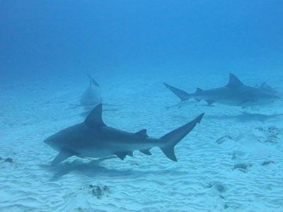 Bull Shark Diving Excursion with Dressel Divers