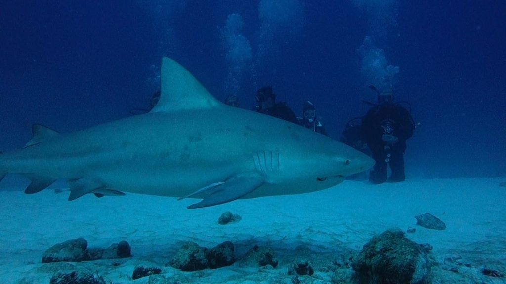 Diving with bull sharks in Playa del Carmen with Dressel Divers