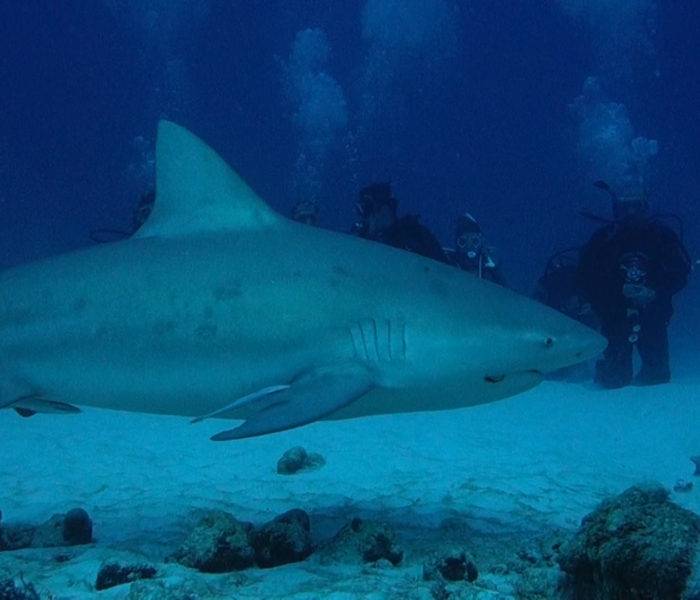 Bull shark diving in Playa del Carmen 07