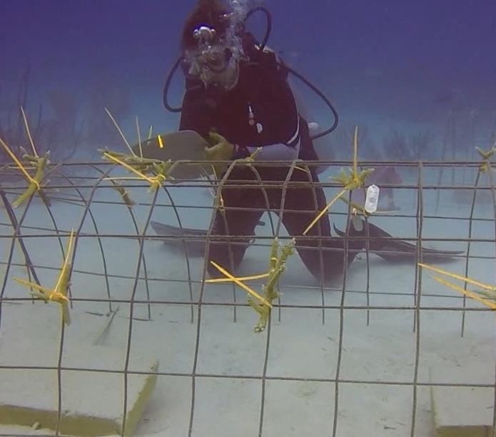 Coral transplantation in Punta Cana