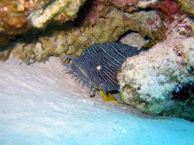 Cozumel splendid toadfish - right