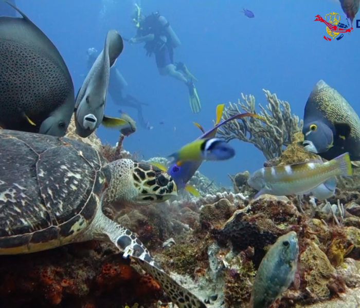 Cozumel. Hawksbill turtle and angel fish