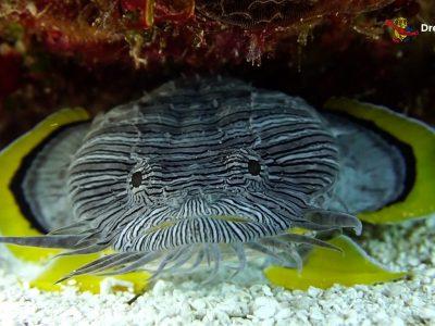Cozumel. Splendid Toadfish.