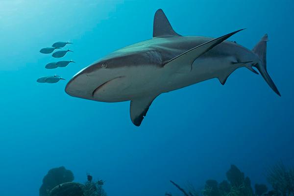 Cuba liveaboard diving - shark