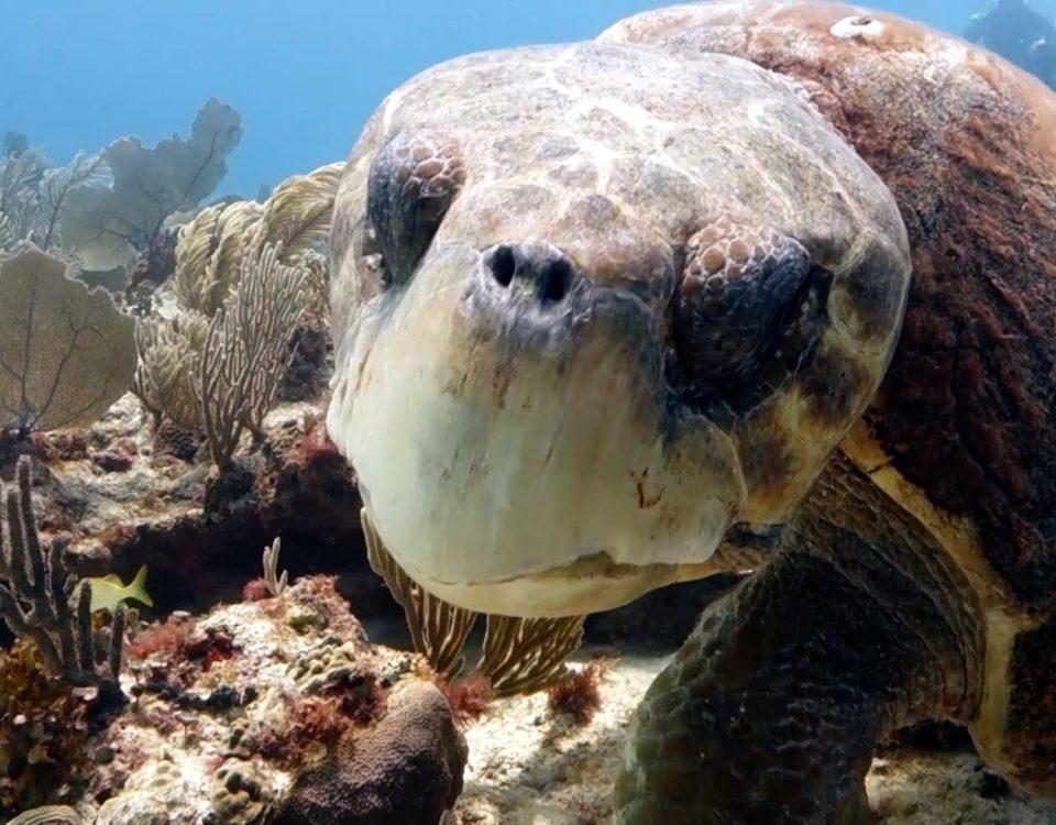 Curiosidades de la tortuga boba- foto principal