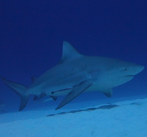 diving with bull sharks in playa del carmen - Contact