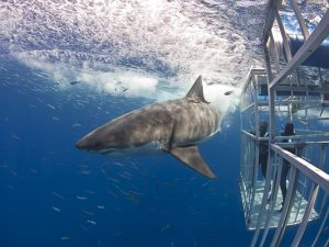 white shark diving - Guadalupe liveaboard - cage