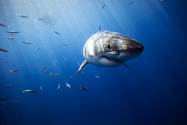 white shark diving - Guadalupe liveaboard - white shark