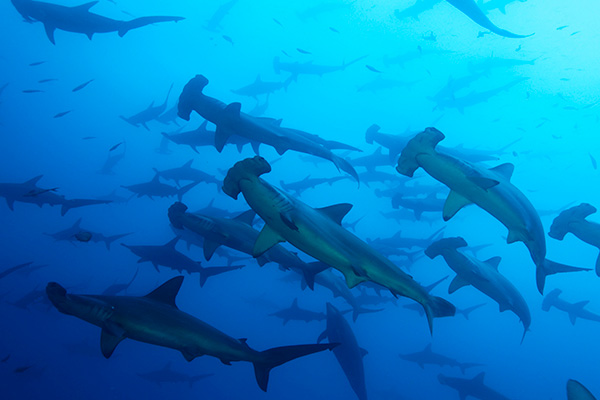 French Polynesia Liveaboard Diving - Hammerhead