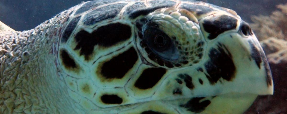 Hawksbill Turtle Facts - Playa Paraiso.