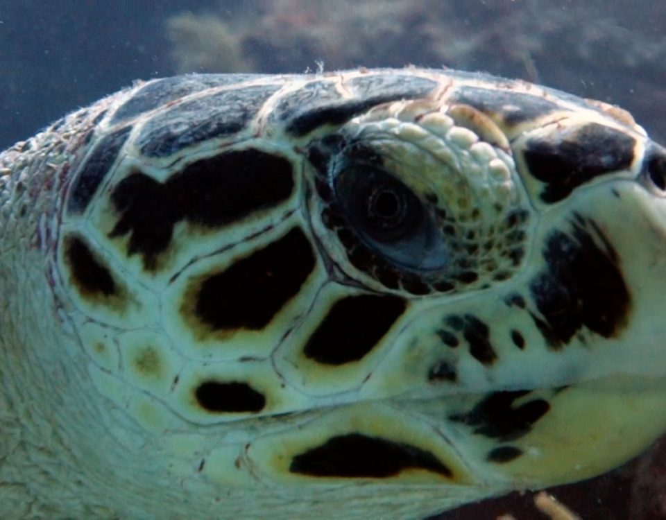 Hawksbill Turtle Facts - Playa Paraiso.