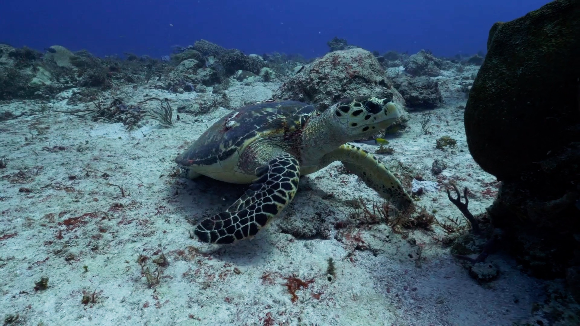 Hawksbill Turtle Facts - Playa del Carmen