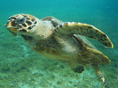 Hawksbill Turtle Facts - main picture