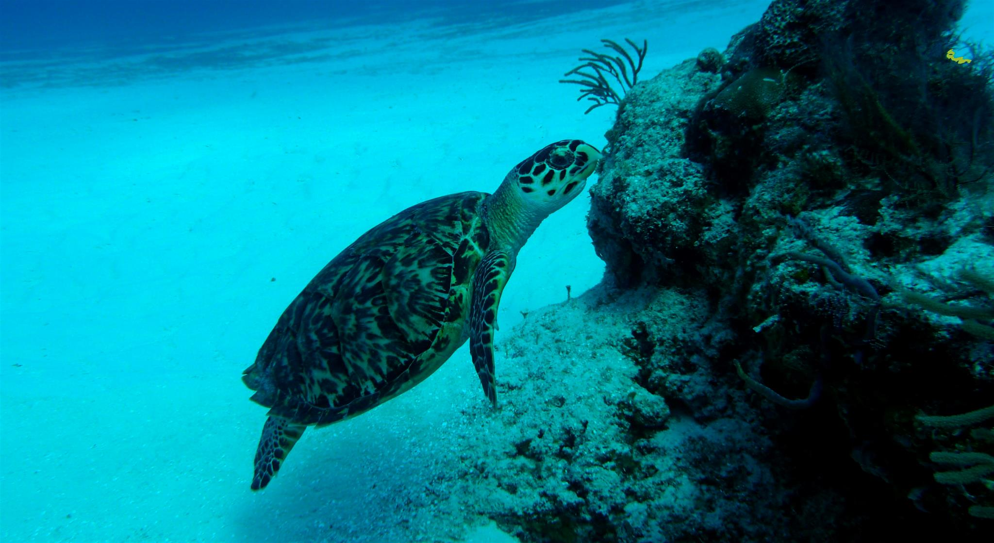 Hawksbill turtle facts - turtle eating