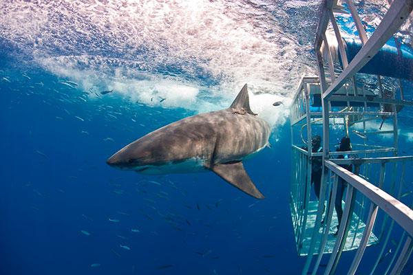 Liveaboard Diving - Guadalupe