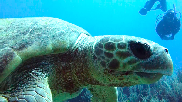Loggerhead turtle facts - 2