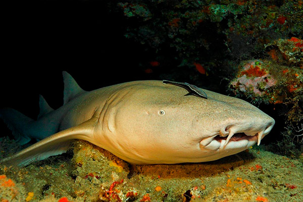 Maldives liveaboard diving - Nurse shark
