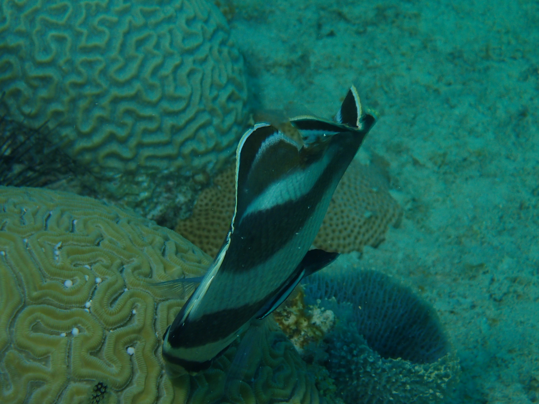 Spawning Of Brain Coral In Bayahibe - butterflyfish