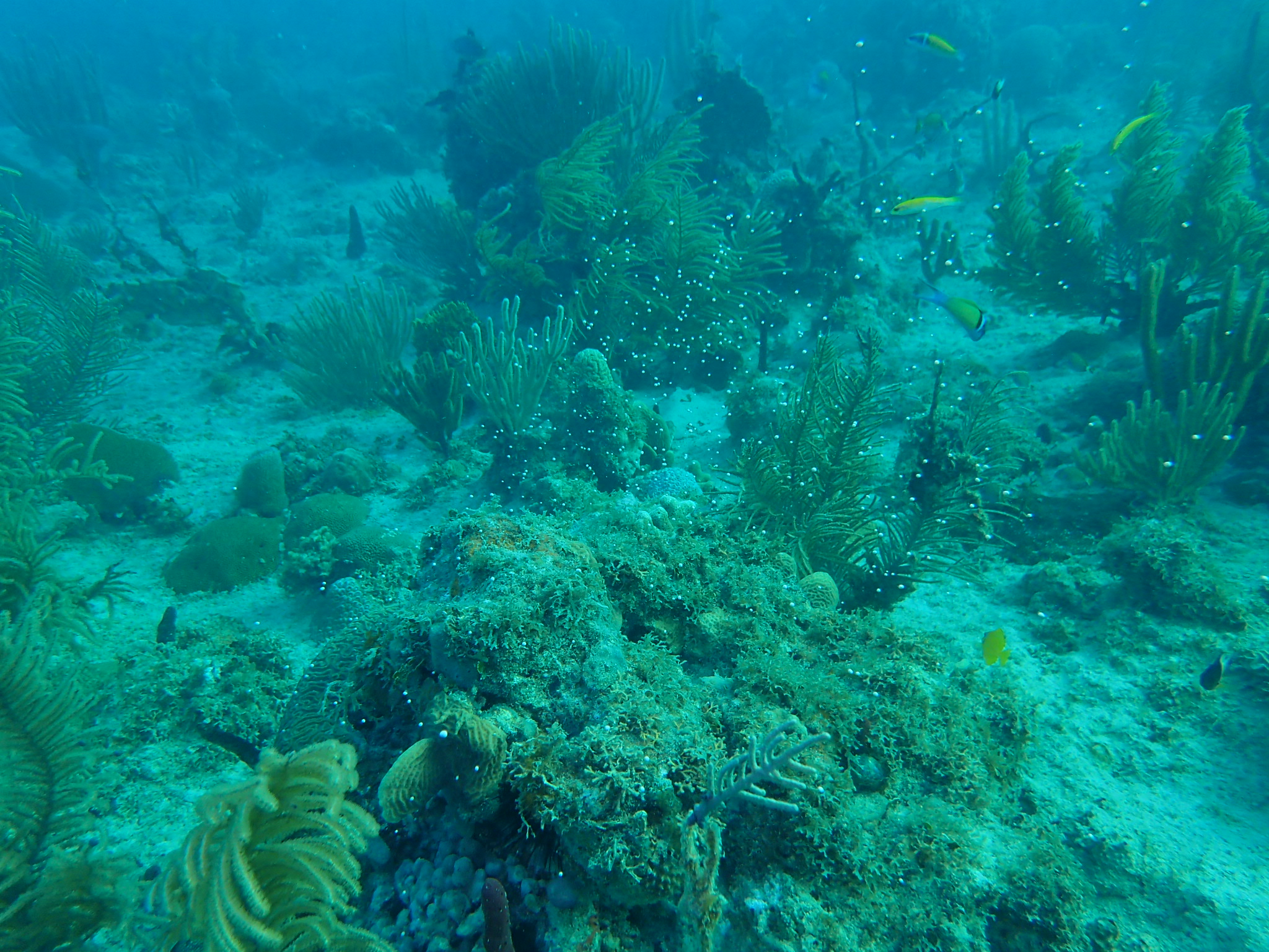 Spawning Of Brain Coral In Bayahibe - Reef