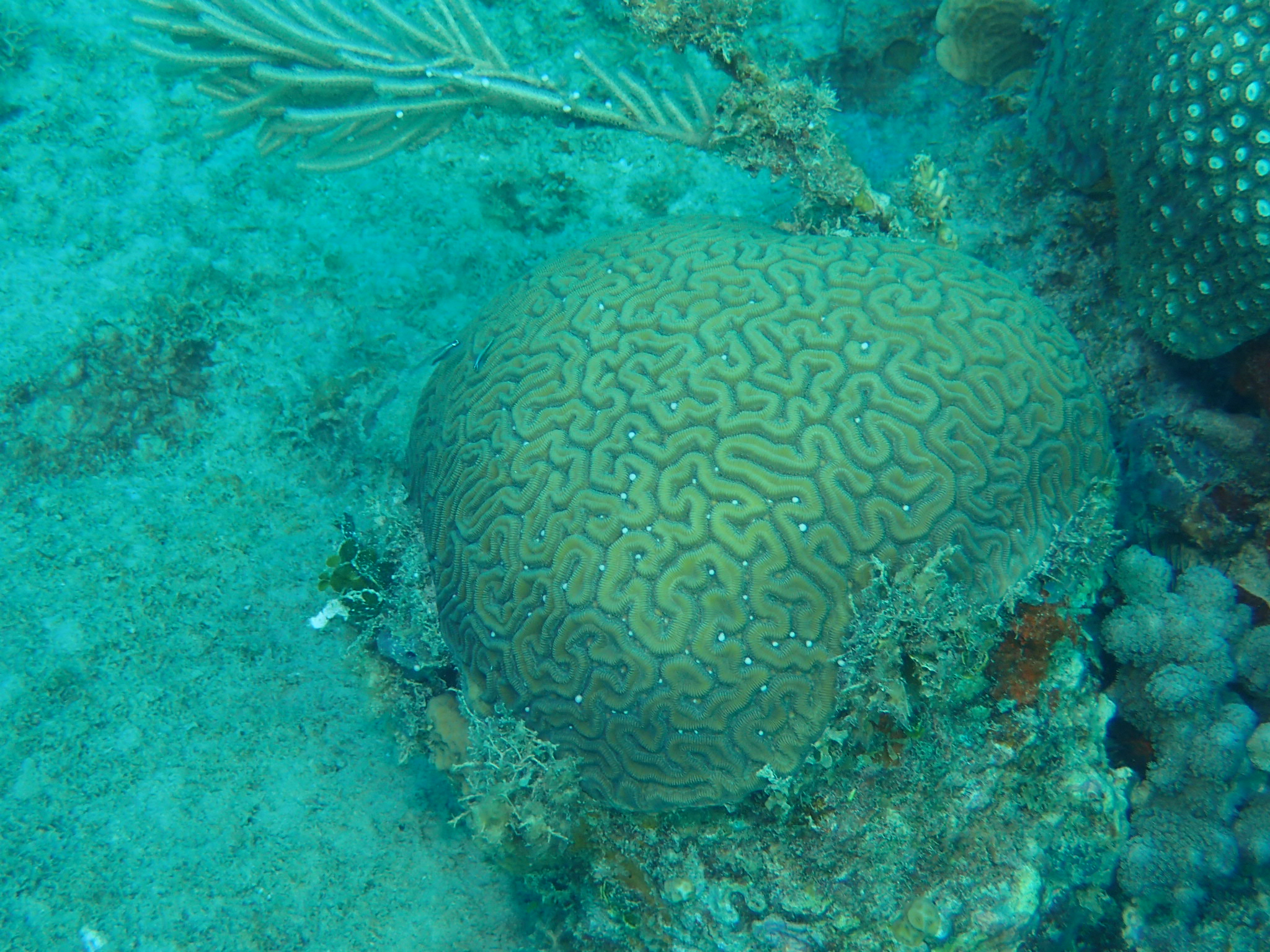 Spawning Of Brain Coral In Bayahibe - Cerebrus 2