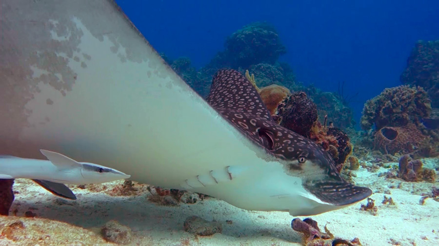Palancar Reef - eagle ray