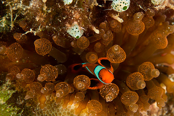 Papua New Guinea Liveaboard Diving - Nemo