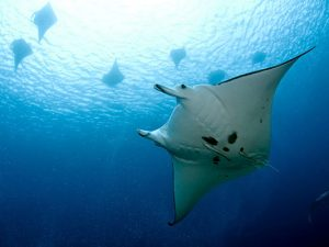 Papua New Guinea Liveaboard Diving - manta ray