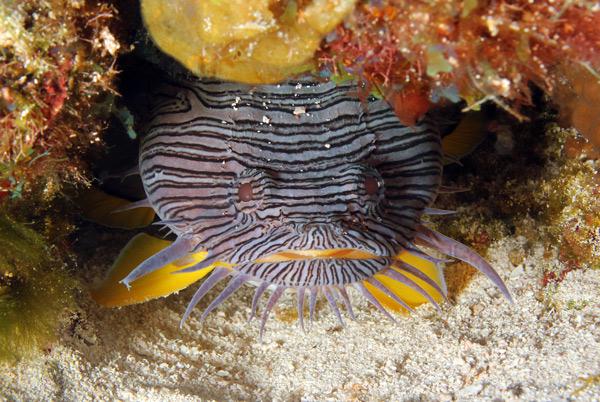 Parque Nacional Arrecifes de Cozumel - pez sapo espléndido