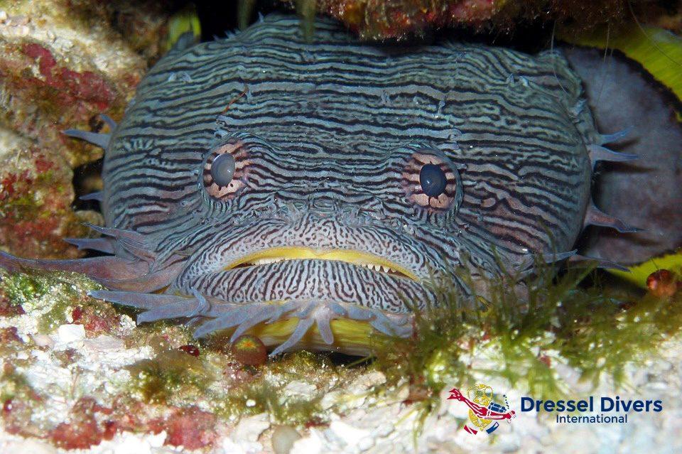 Pez Sapo Espléndido de Cozumel Dressel Divers