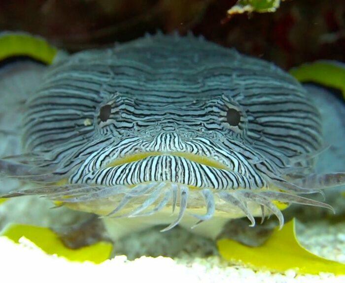 Scuba Diving Cozumel --Toadfish