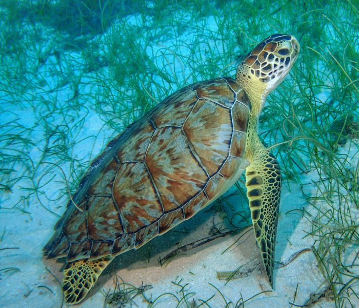 Scuba Diving Jamaica MPG6015 - Turtle