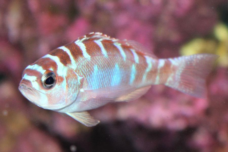 Serranus tortugarum