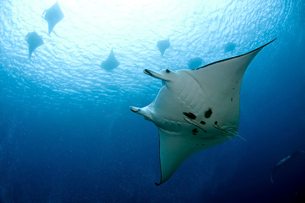 Solomon Islands Liveaboard Diving - manta ray