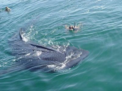 snorkeltour walvishaaien