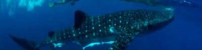 Whale shark excursion in Cozumel