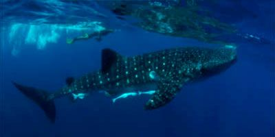 Whale_Shark_Diving_Excursion