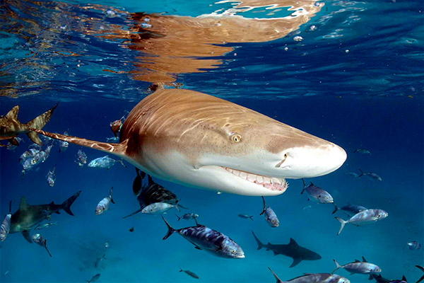 bahamas liveaboard diving - bull shark