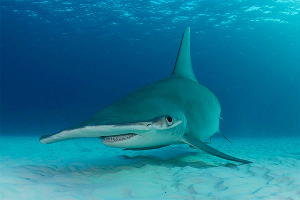 bahamas liveaboard diving - shark