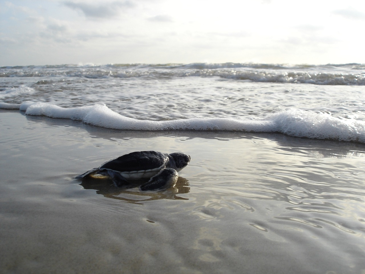 beach cleaning for turtle nesting in cozumel