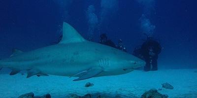 bull shark nueva peq