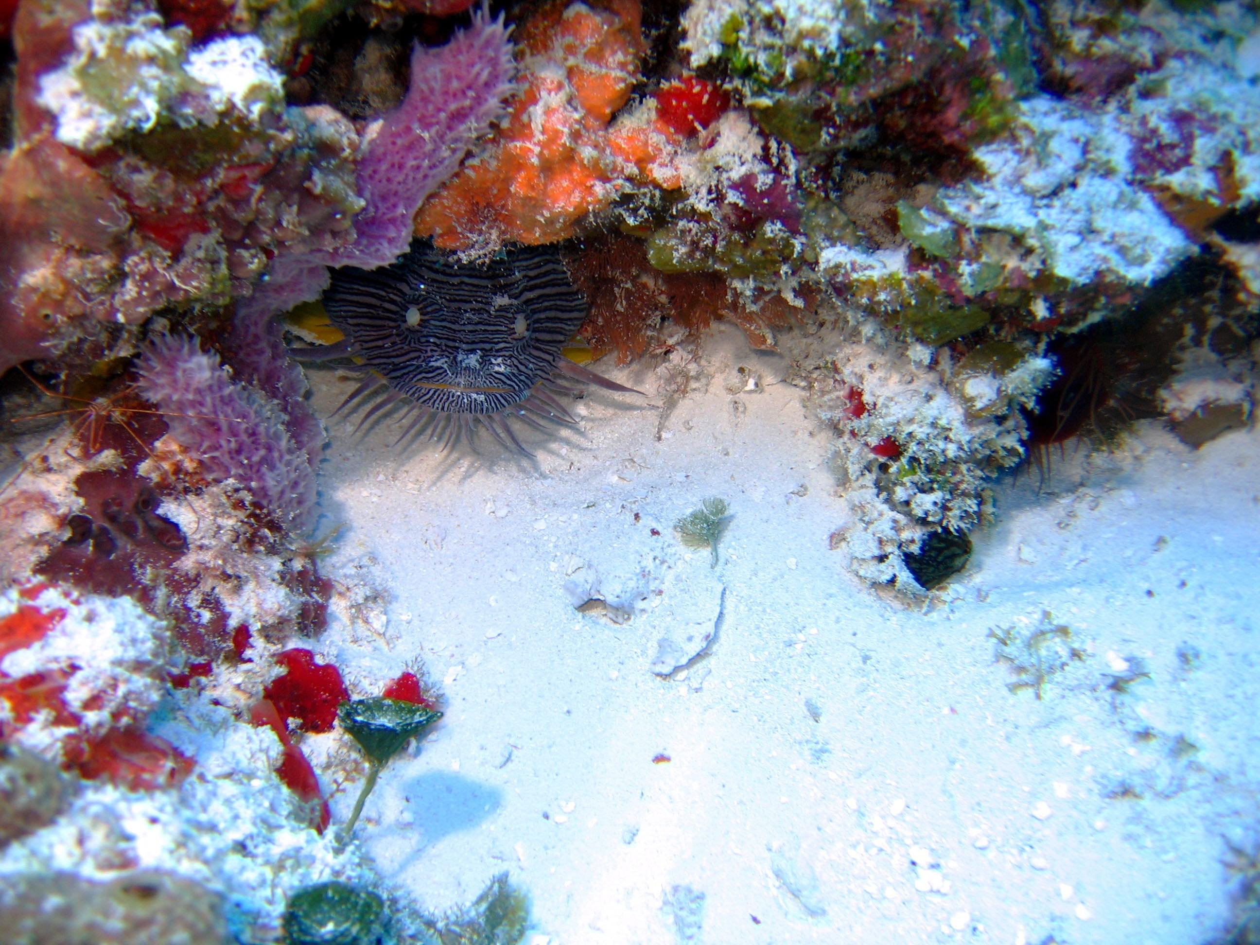 Cozumel splendid toadfish - left