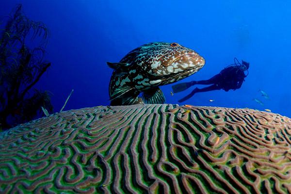 cuba liveaboard diving - mero