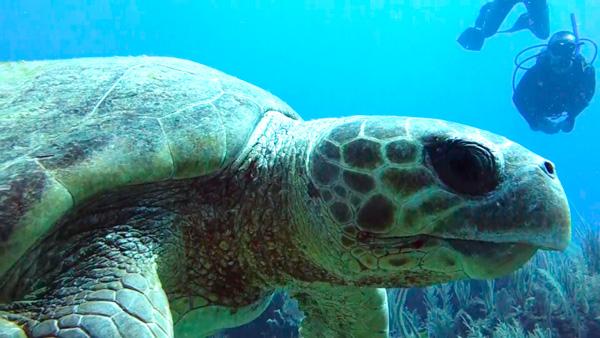 curiosidades de la tortuga boba - 2
